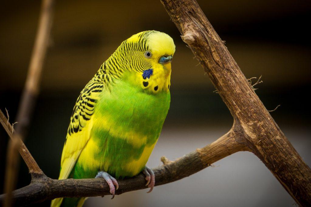 papagal de companie