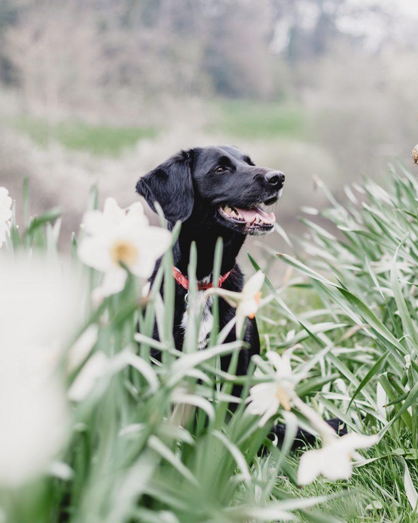 алергия към кучета