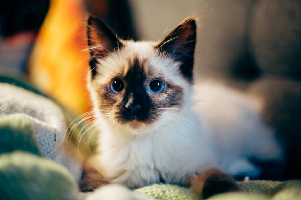 pisica rasa birmaneza