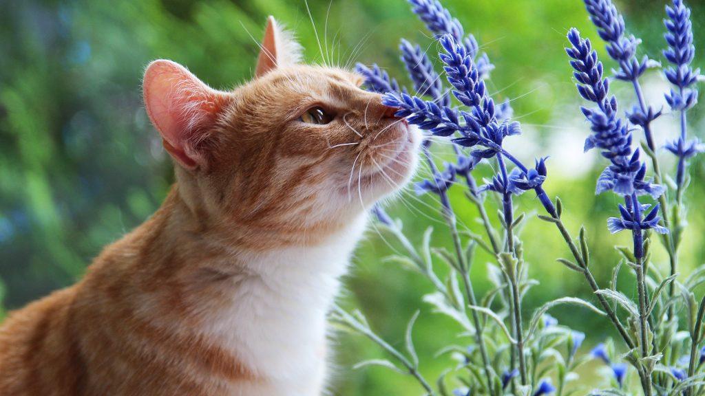 levantica pentru pisici