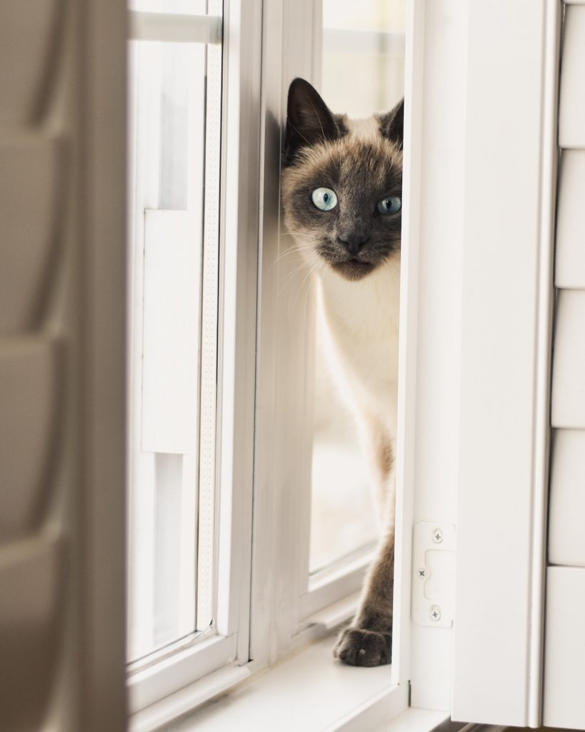 pisica siameza joaca