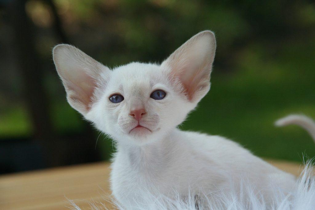 pui pisica siameza moderna