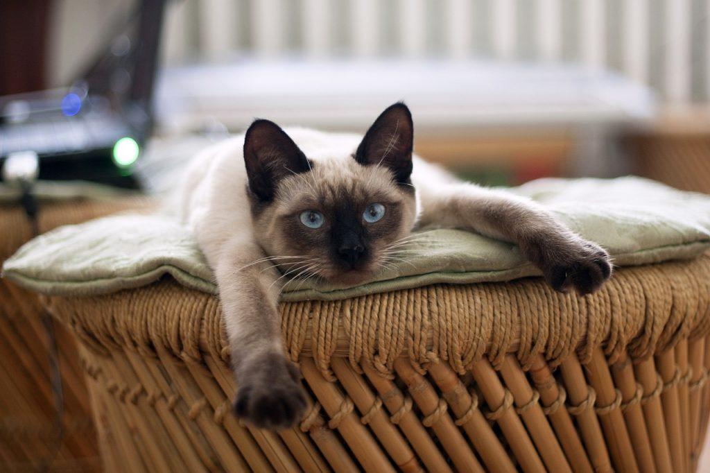 pisica siameza activitate