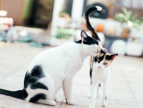 doua pisici albe cu negru, una adulta si un pui, se joaca intr-o curte