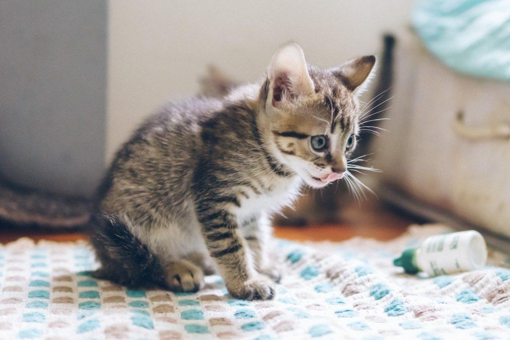 mancarea pentru pui de pisica
