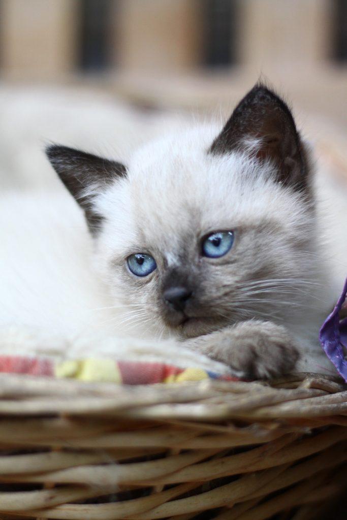 pui pisica siameza traditionala