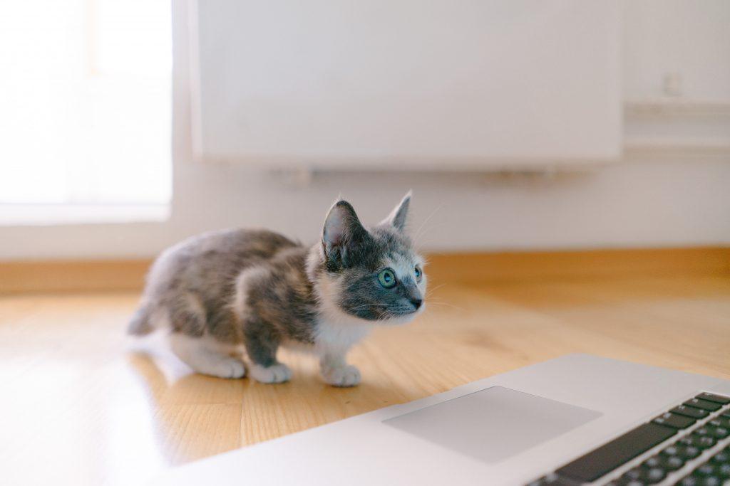 informatii despre puiul de pisica