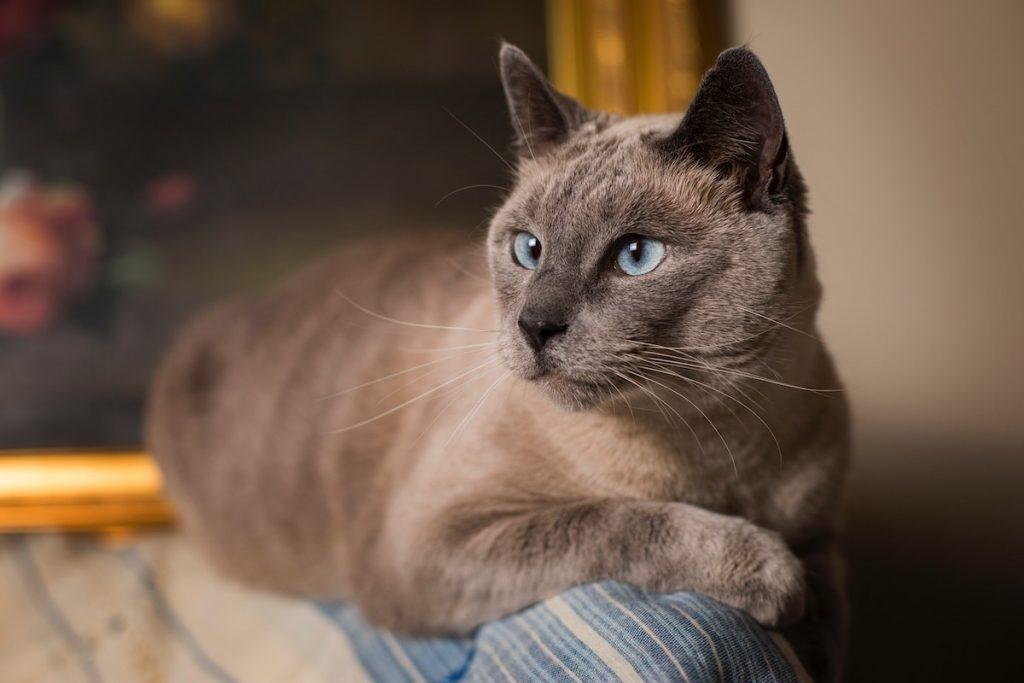 pisica siameza gri