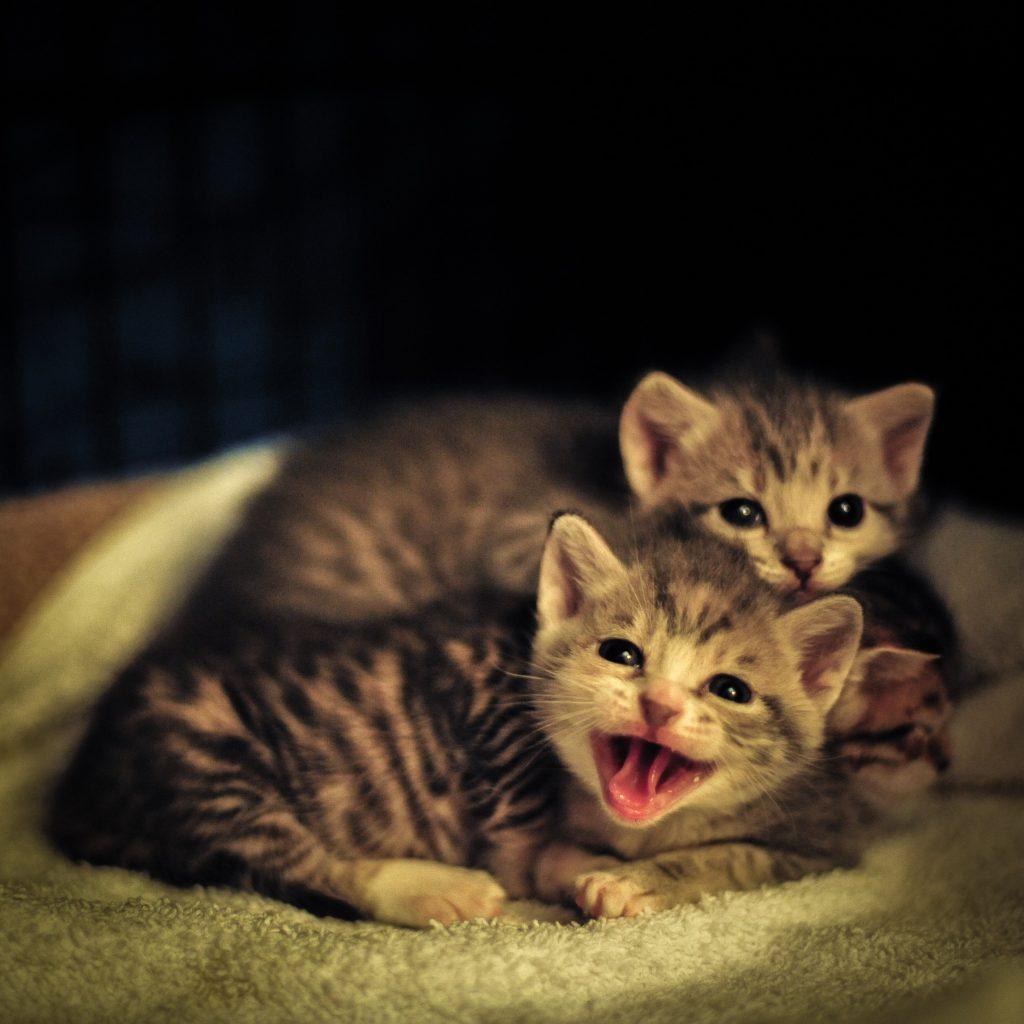 puii de pisica orfani