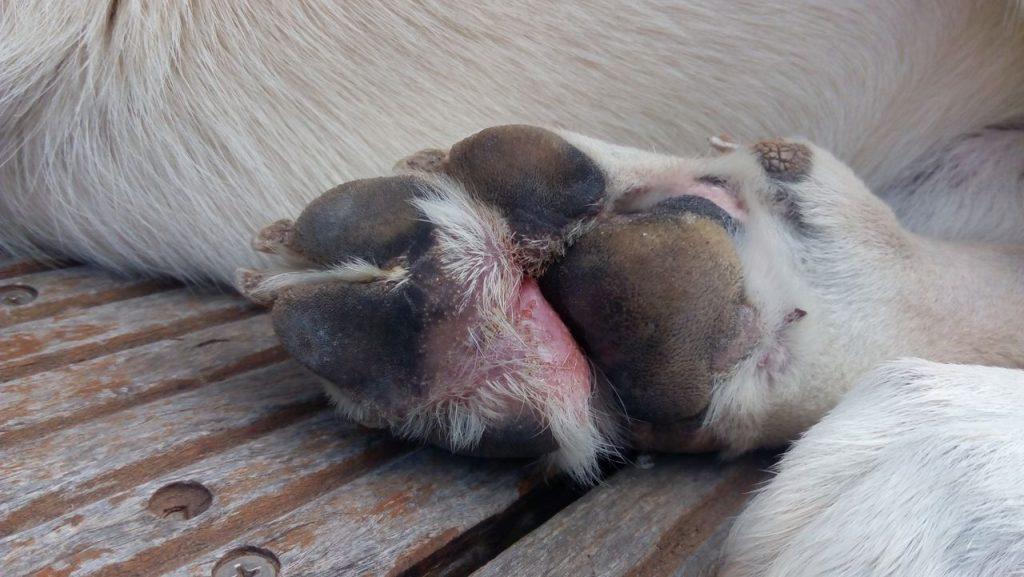 картина на кожни заболявания на кучетата