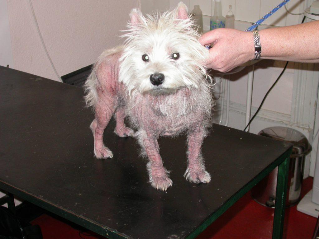снимки на кожни заболявания на кучетата