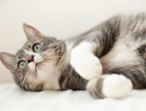 pisica alba cu maro si negru pe un pat alb
