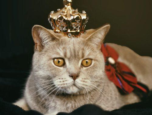 Pisică ce poartă coroniță de regină și fundă roșie