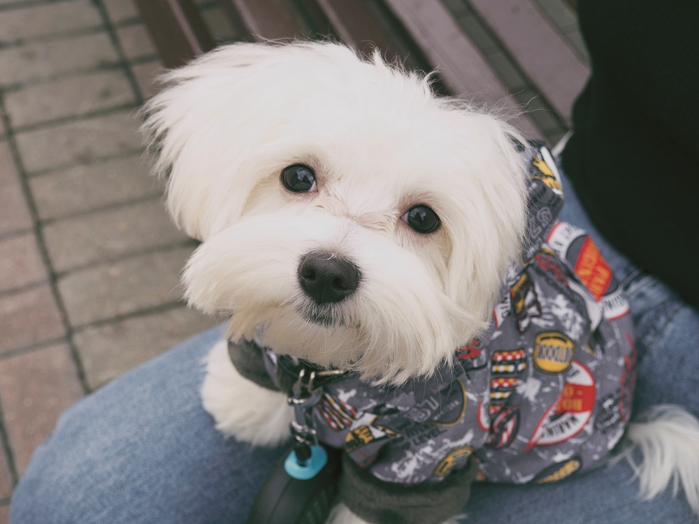 колко дълго живее малтийско куче куче