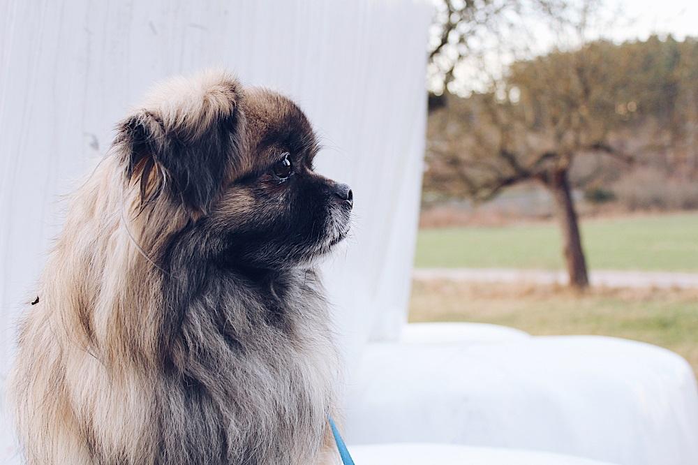 кон живее пекинско куче