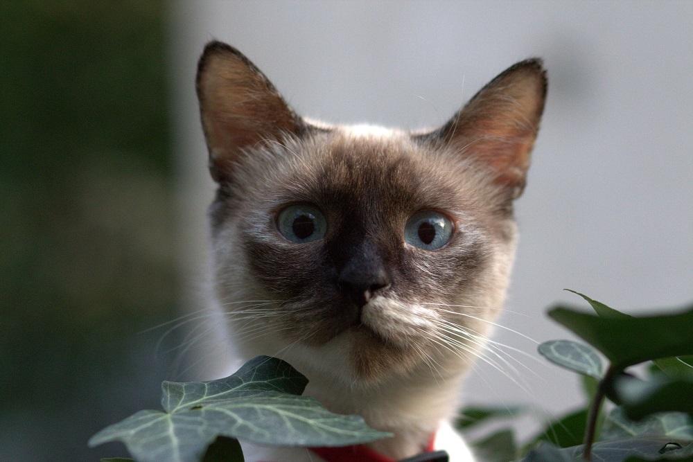 cat traieste o pisica birmaneza