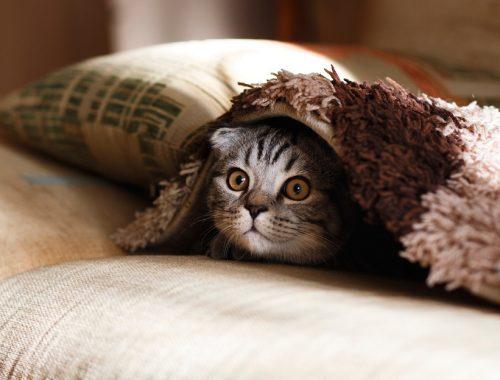 pisica in calduri