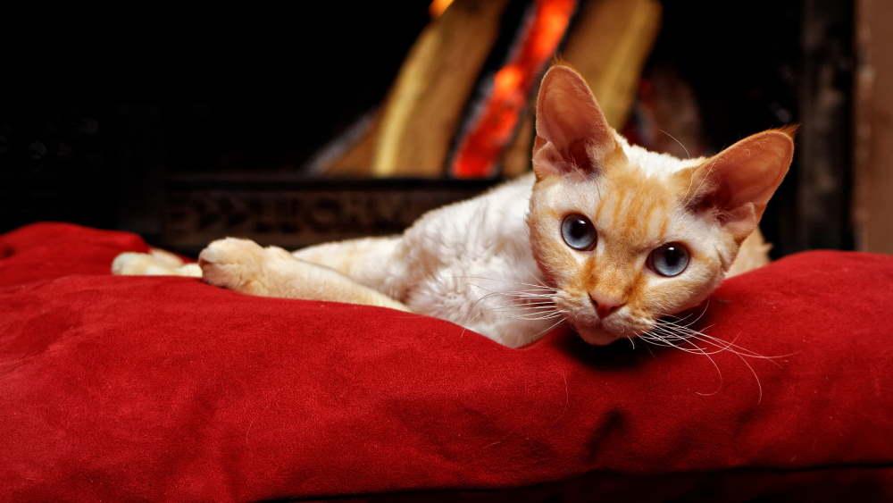 pisica devon rex care sta intinsa pe o canapea de culoare rosie