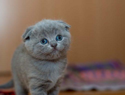 pui de pisica de culoare gri