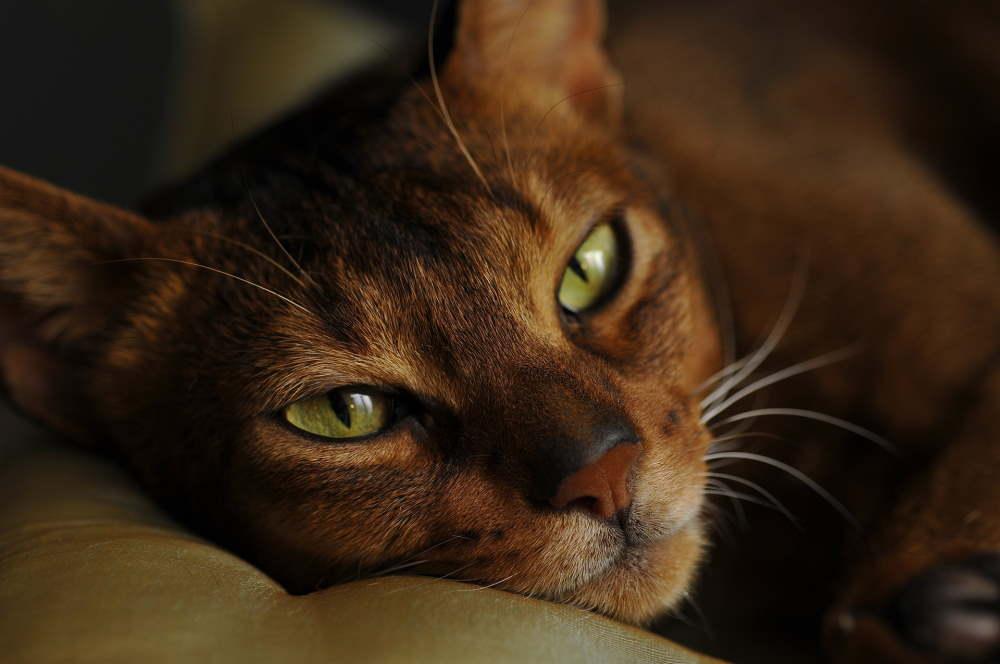 portret pisica abisiniana care sta intinsa