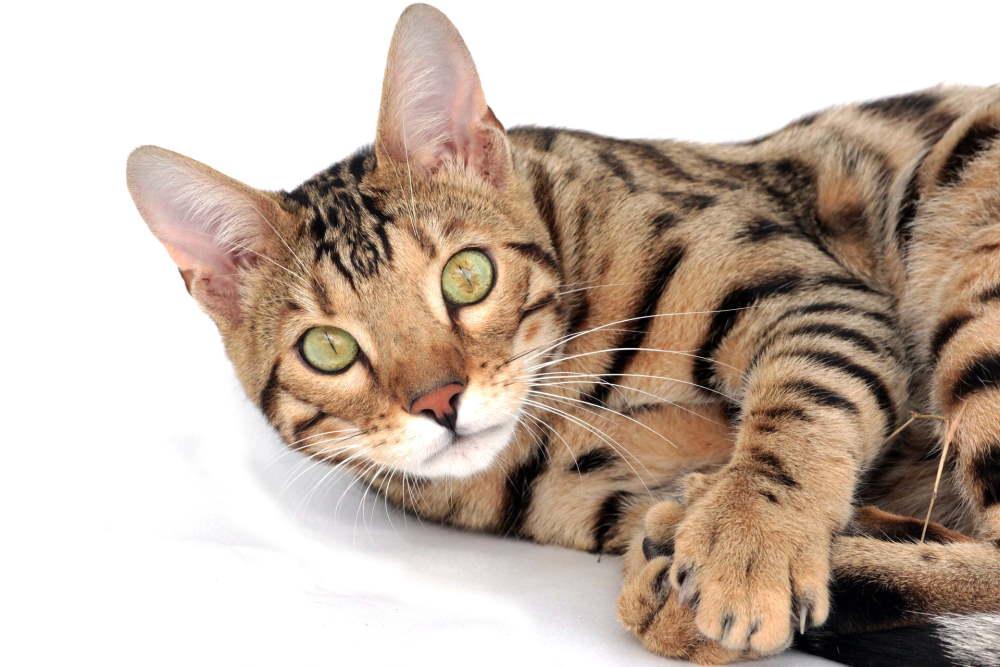 pisica bengaleza care sta intinsa