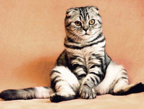 pisica vargata care sta pe labele din spate rezemata de un perete