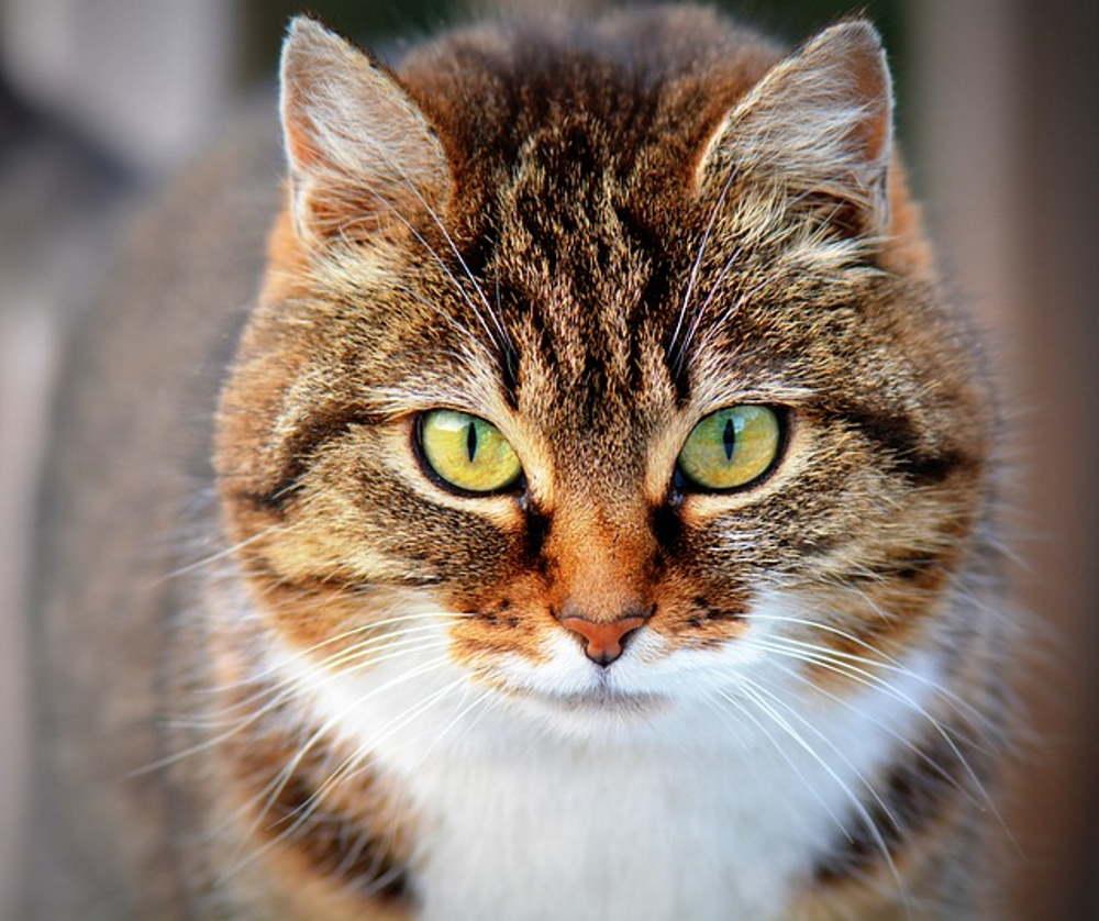 profil pisica de culoare maro cu gatul alb