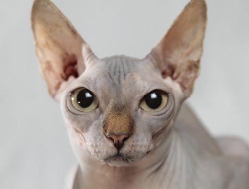 portret pisica sfinx