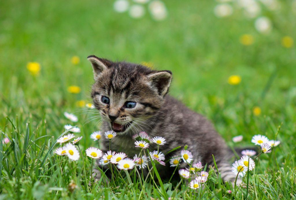 pui de pisica in iarba