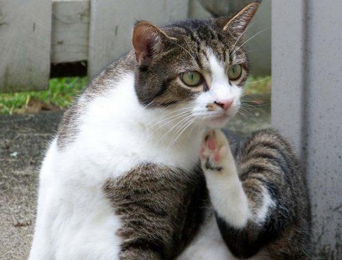 pisica comunitara care se scarpina deoarece are purici
