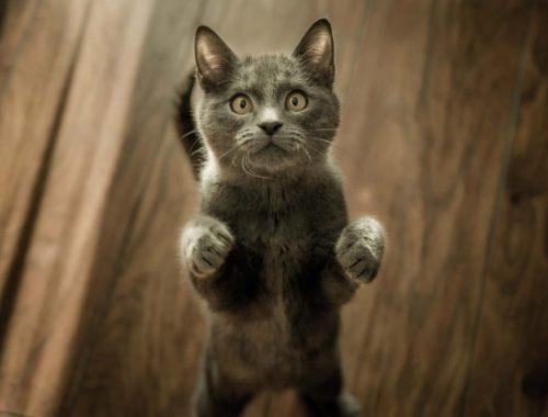 pisica de culoare gri care sta in doua labe pe parchet