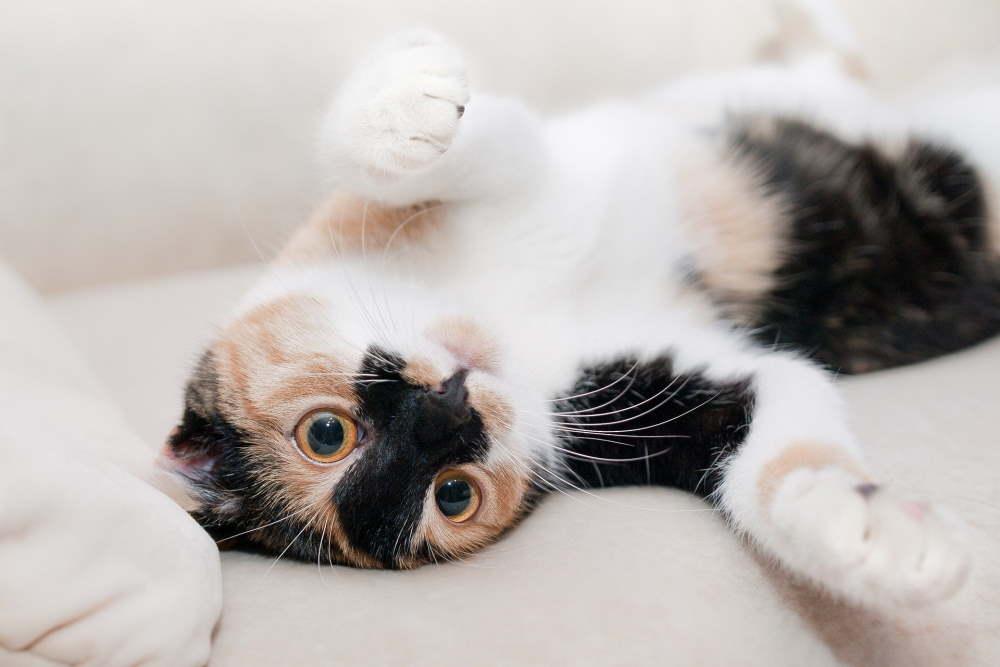 pisica alb cu negru intinsa pe spate in pat
