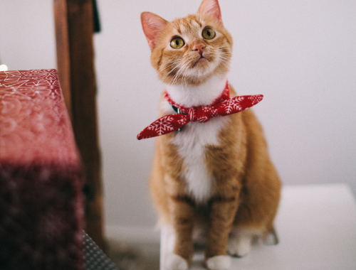 pisica portocalie cu batic la gat care priveste in sus
