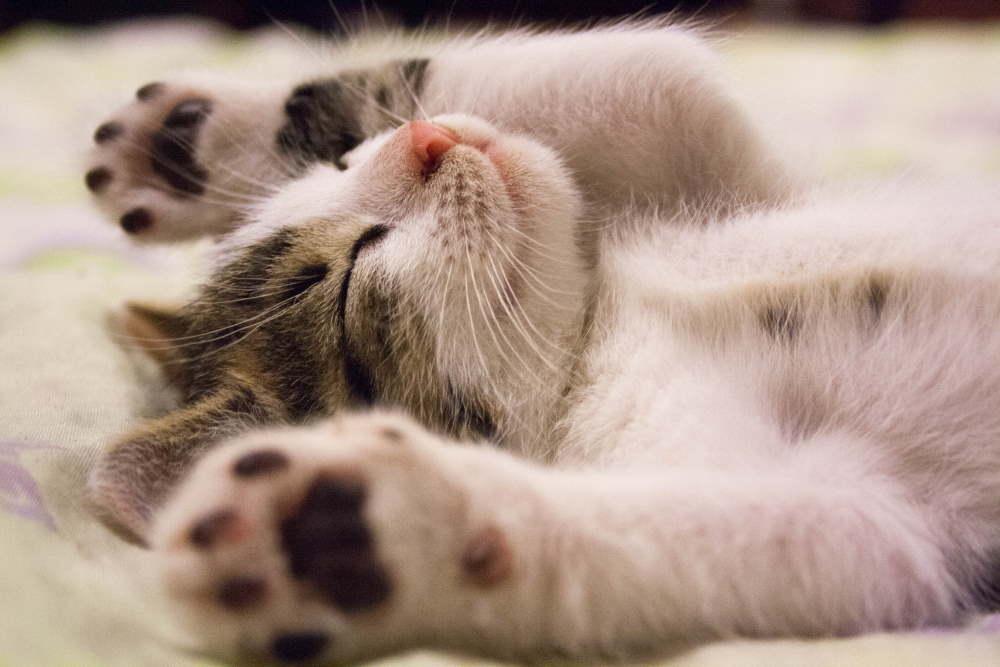 pui de pisica care doarme cu fata in sus