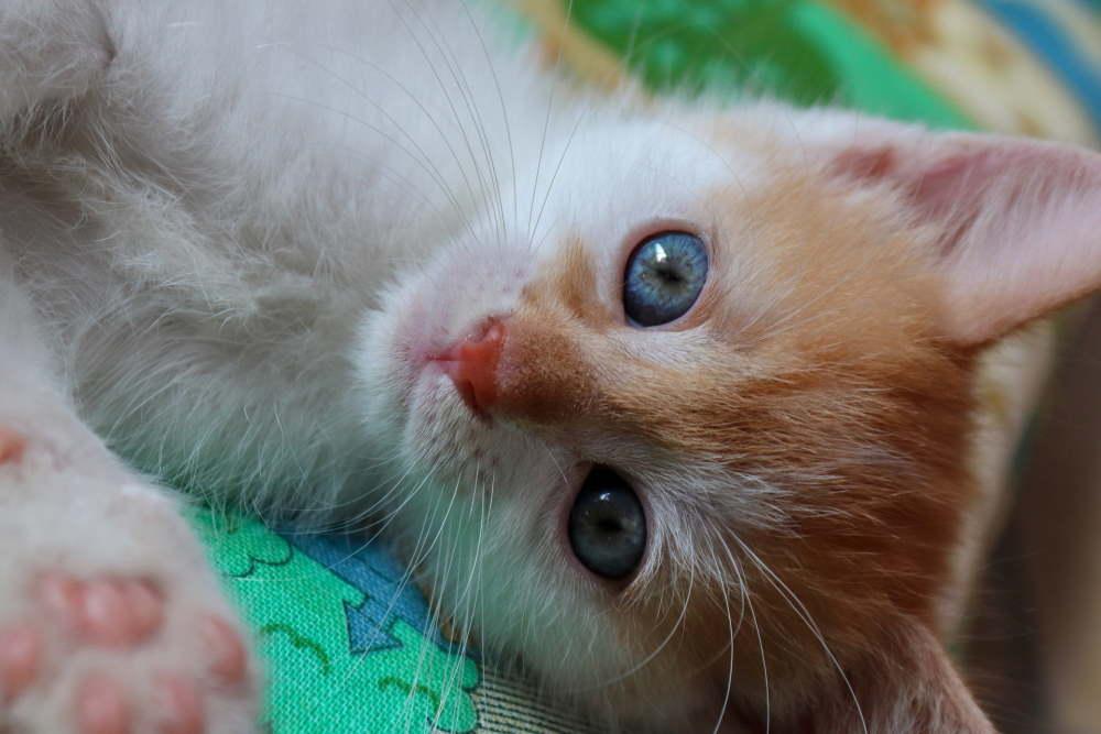 pui de pisica cu ochi albastri