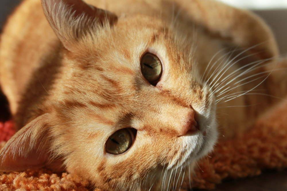 pisica portocalie
