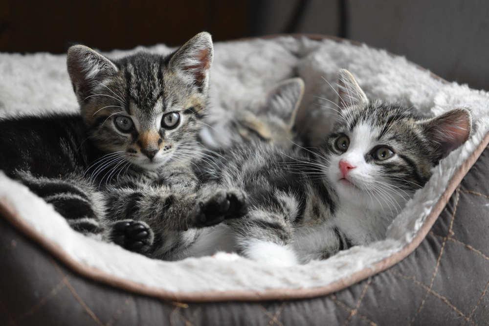doi pui de pisica care stau in cos