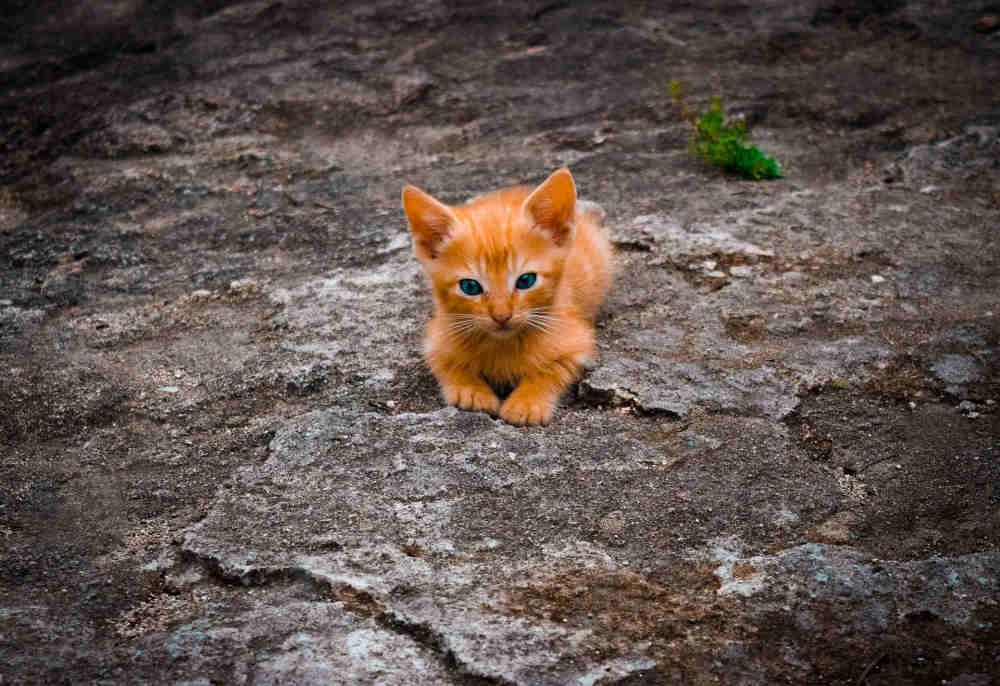 pui de pisica portocaliu