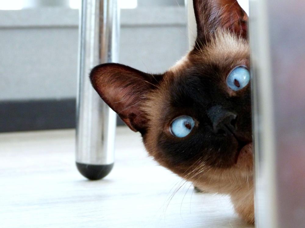Pisica birmaneza cu ochi albastri care se uita crucis, de dupa un dulap