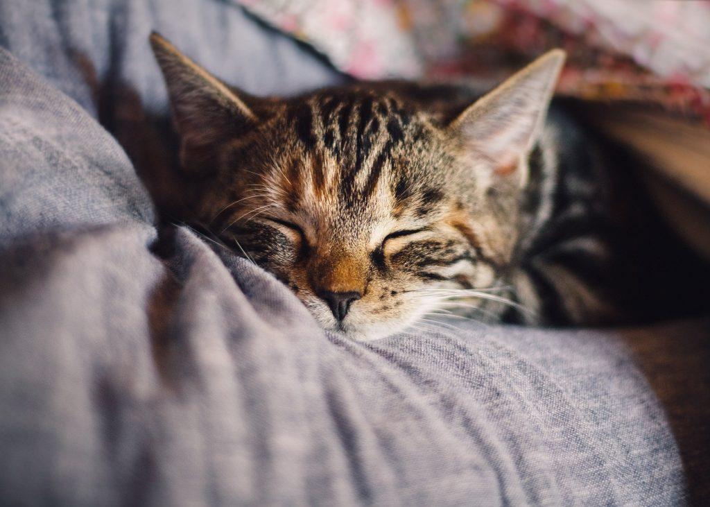 pui de pisica tigrat care doarme