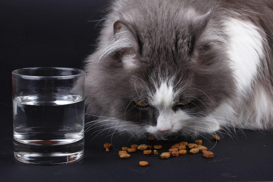 pisica gri cu pete albe, care mananca hrana uscata și are un pahar de apa in fata