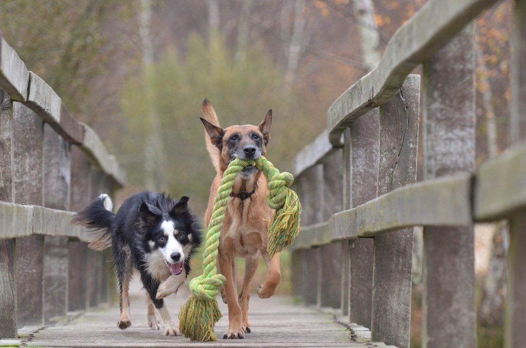doi caini negru si maro care se joaca pe un pod de lemn cu o sfoara mare verde