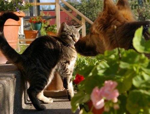 o pisica maro cu negru se joaca cu un caine ciobanesc german in curte