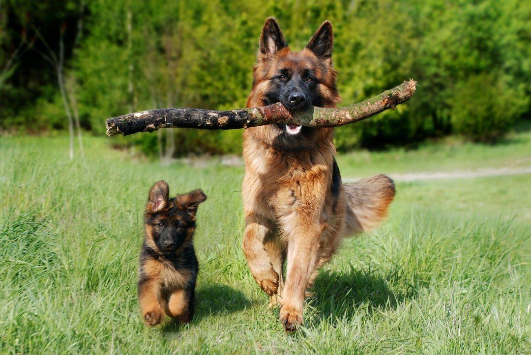 Hrana pentru un caine ciobanesc german - doi caini ciobanesti german adult si pui alergand intr-un parc