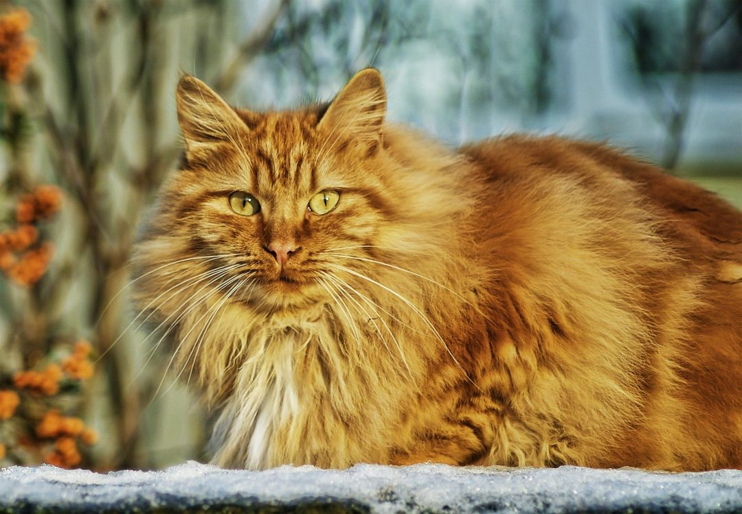 pisica roscata - taurina si rolul ei in dieta si ingrijirea pisicii