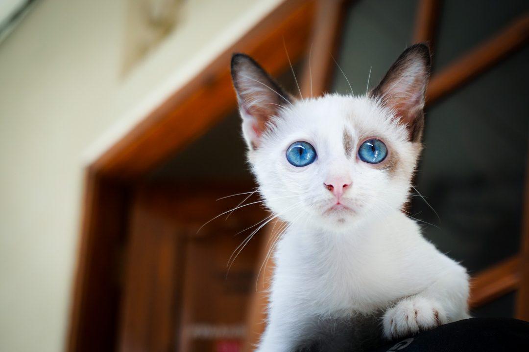 pisica alba cu ochi albastri intr o casa cu pereti albi si tocarie maro inchis