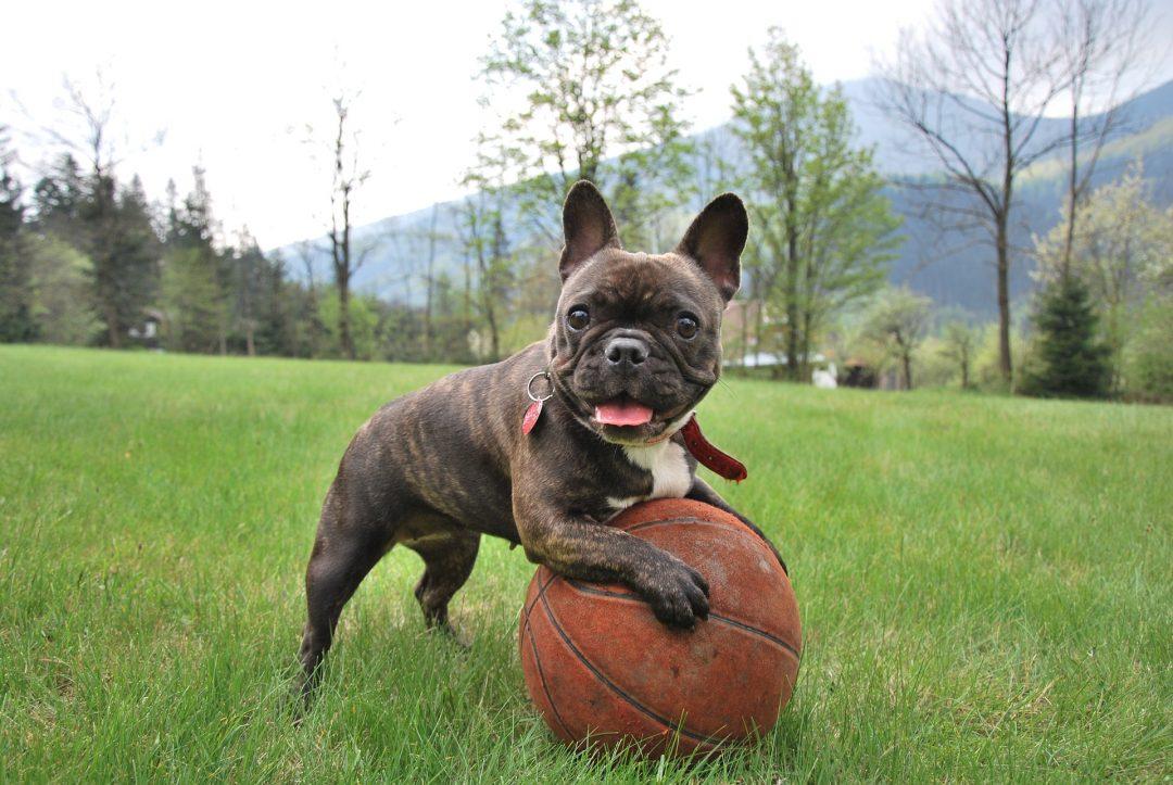 caine pui bulldog francez maro inchis cu negru se joaca cu o minge de paschet pe un camp cu iarba verde