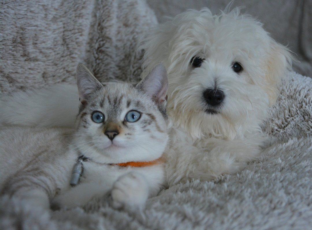 pisica alb cu gri si caine alb bichon pe un pat