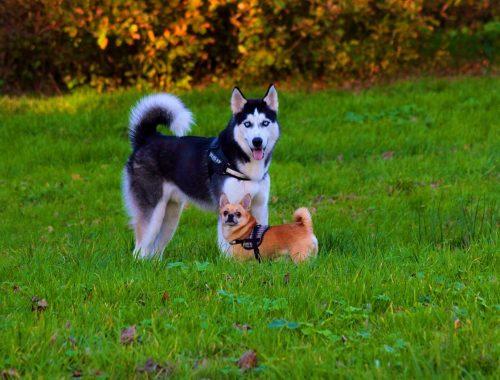 doi caini tineri, un husky si unul de talie mica maro, se joaca intr-un parc