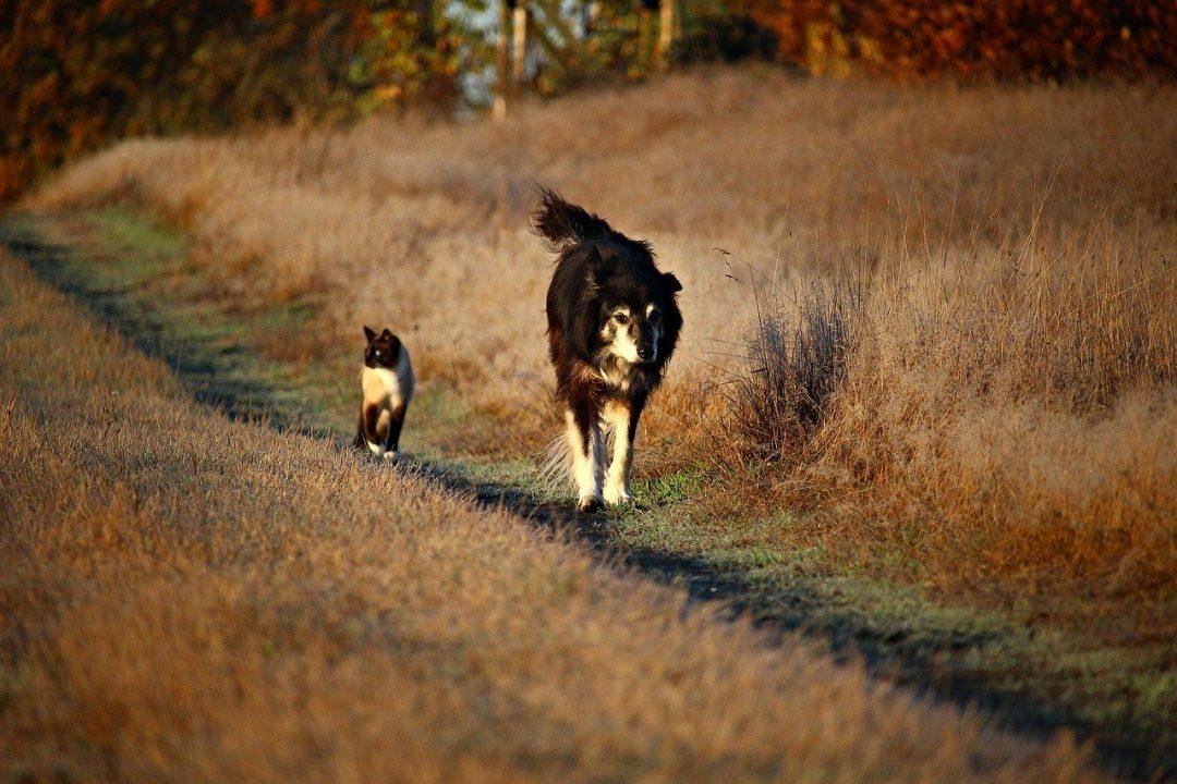 caine de talie medie negru cu alb si maro si pisica negru cu alb si maro se plimba pe un camp